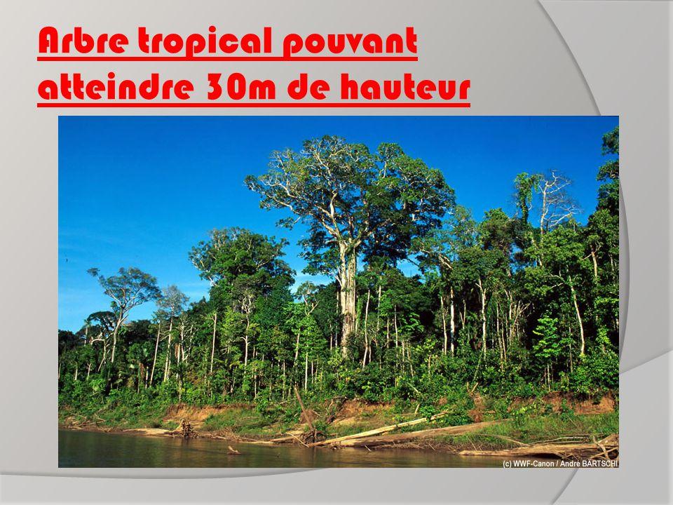 Arbre tropical pouvant atteindre 30m de hauteur