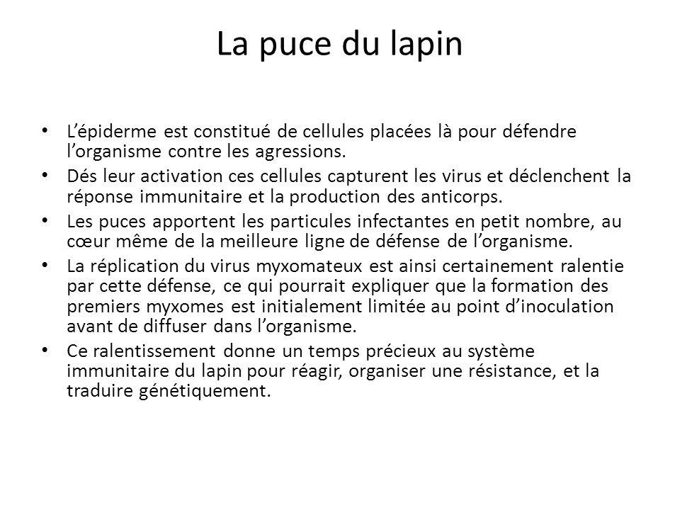 La puce du lapin L'épiderme est constitué de cellules placées là pour défendre l'organisme contre les agressions.