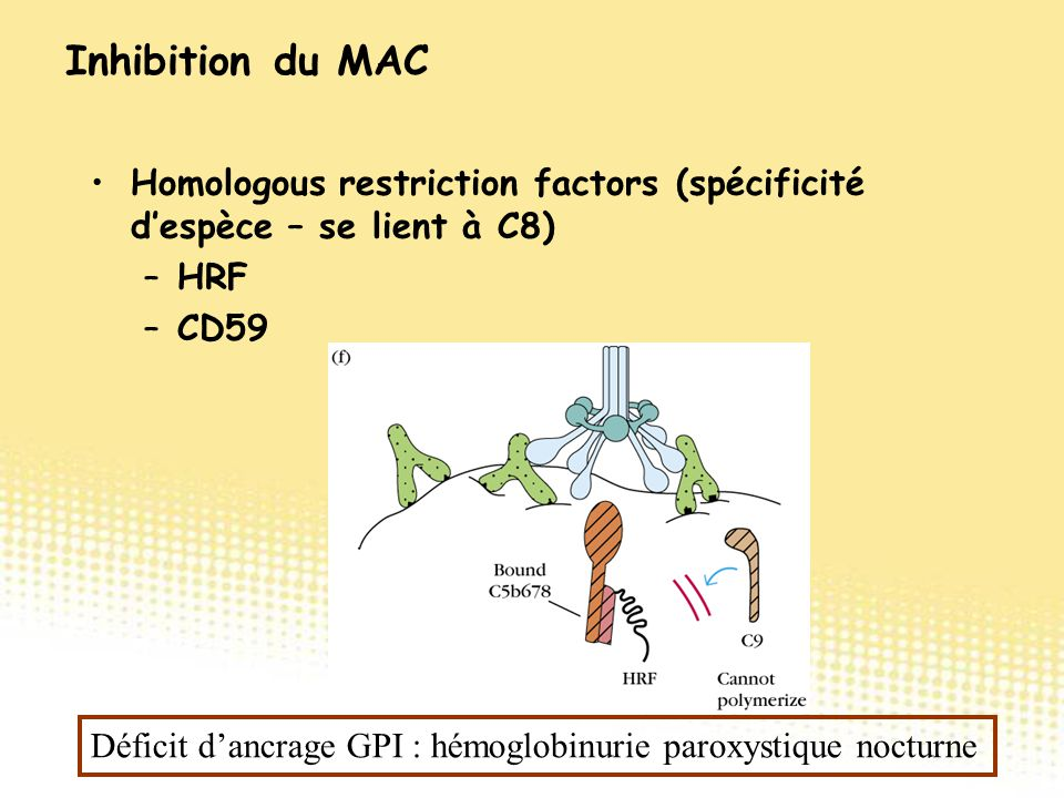 Inhibition du MAC Homologous restriction factors (spécificité d'espèce – se lient à C8) HRF. CD59.