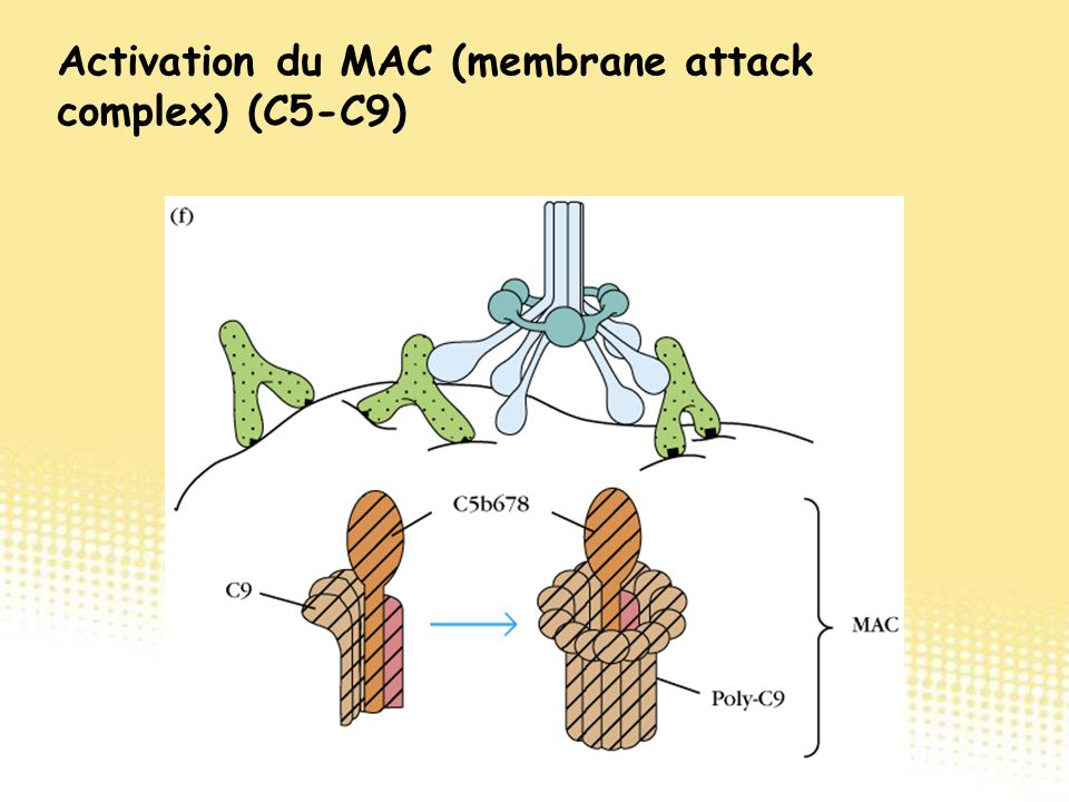 Activation du MAC (membrane attack complex) (C5-C9)
