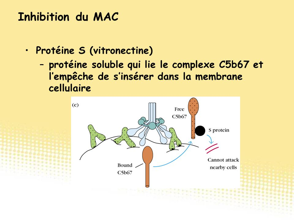 Inhibition du MAC Protéine S (vitronectine)