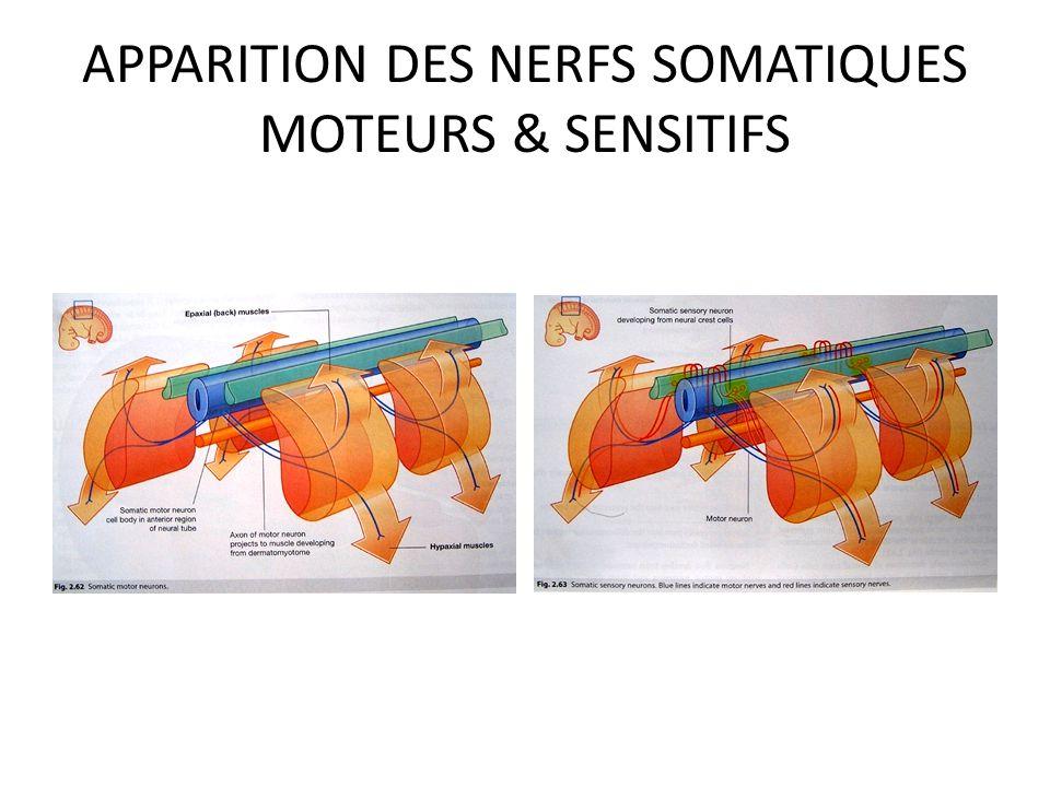 APPARITION DES NERFS SOMATIQUES MOTEURS & SENSITIFS