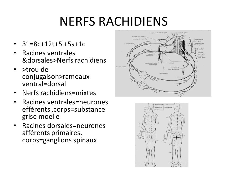 NERFS RACHIDIENS 31=8c+12t+5l+5s+1c
