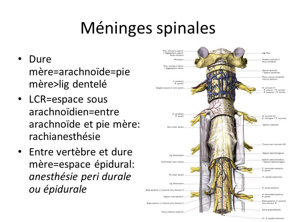 Méninges spinales Dure mère=arachnoïde=pie mère>lig dentelé