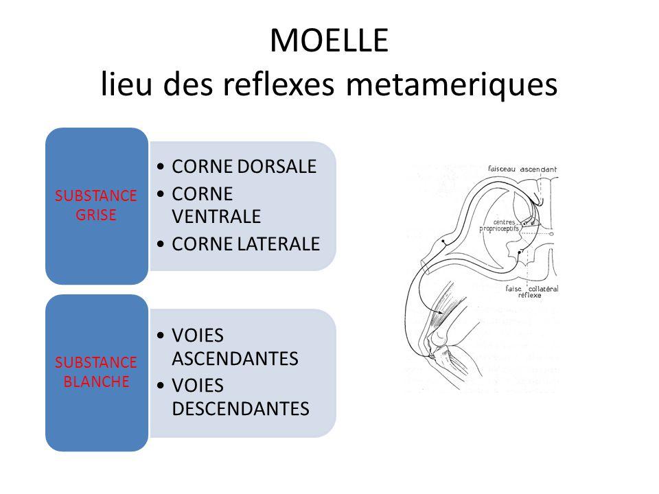 MOELLE lieu des reflexes metameriques