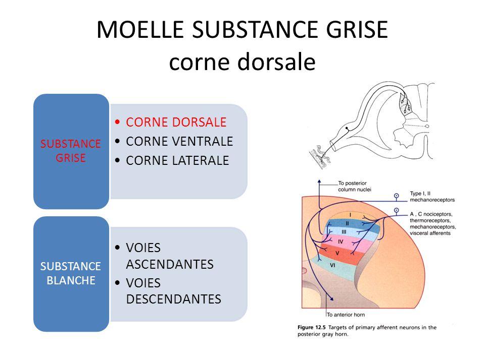 MOELLE SUBSTANCE GRISE corne dorsale