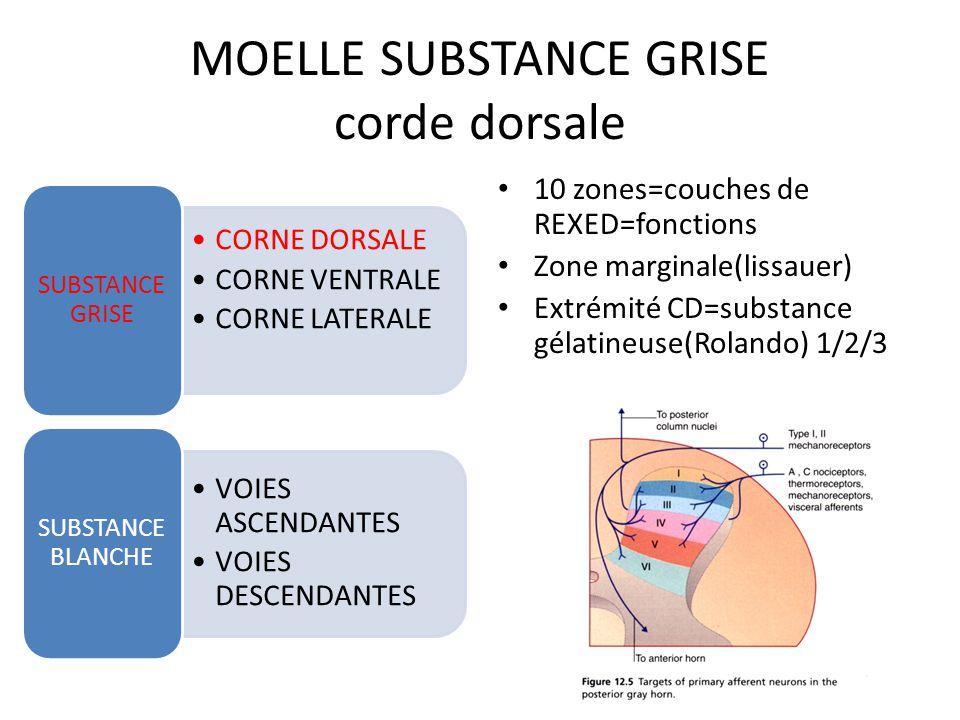 MOELLE SUBSTANCE GRISE corde dorsale