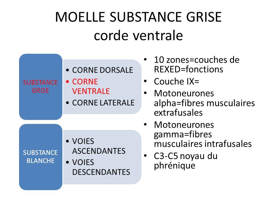 MOELLE SUBSTANCE GRISE corde ventrale