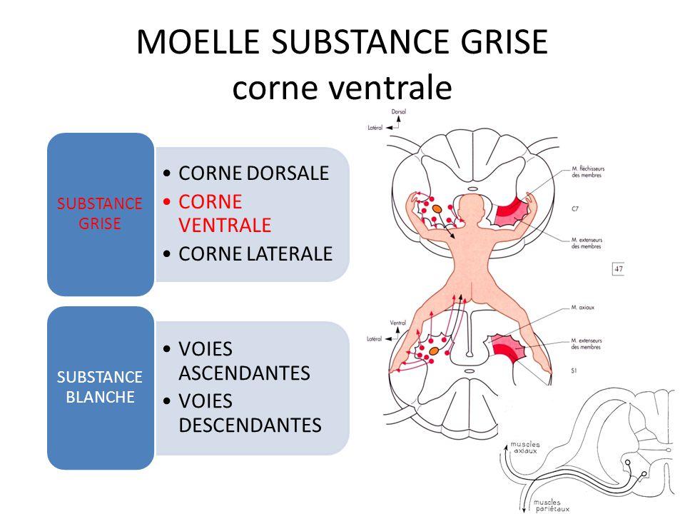 MOELLE SUBSTANCE GRISE corne ventrale