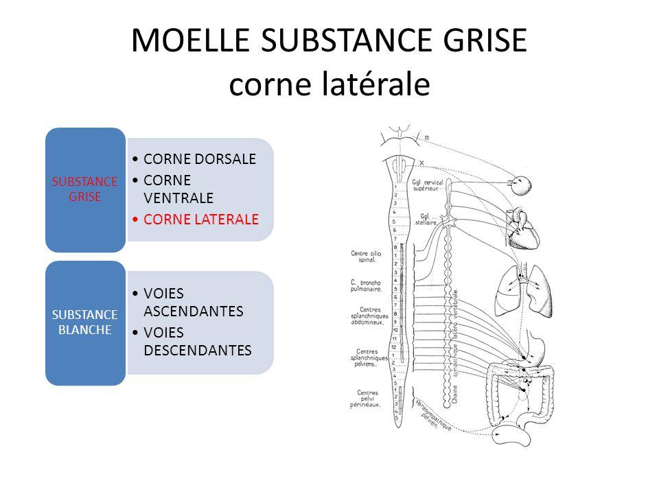 MOELLE SUBSTANCE GRISE corne latérale