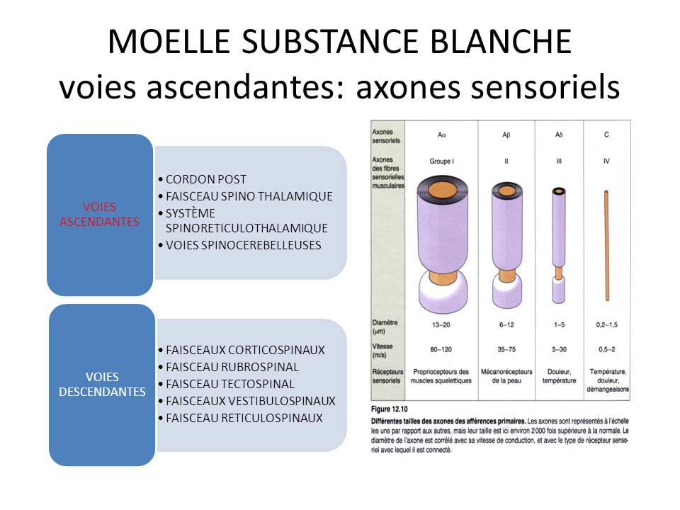 MOELLE SUBSTANCE BLANCHE voies ascendantes: axones sensoriels