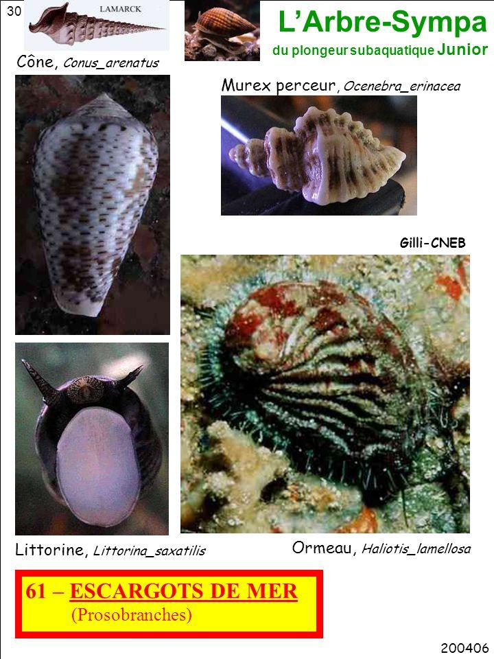 61 – ESCARGOTS DE MER (Prosobranches) Cône, Conus_arenatus
