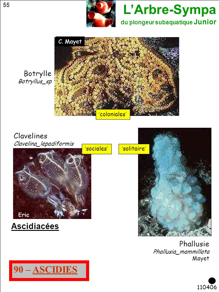 90 – ASCIDIES Ascidiacées Botrylle Clavelines Phallusie C. Mayet