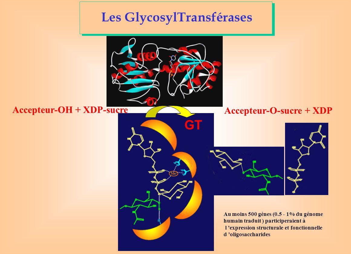 Les GlycosylTransférases