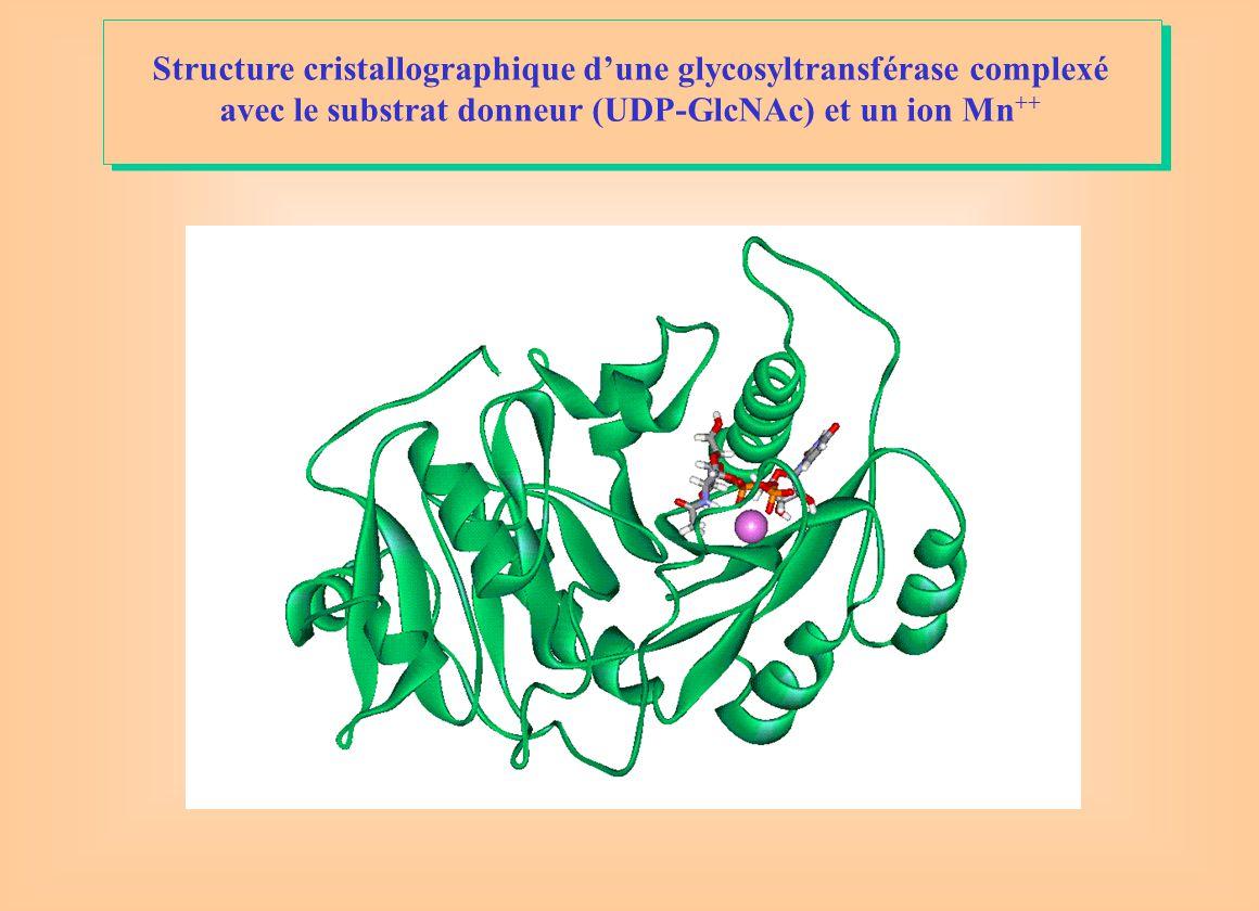 Structure cristallographique d'une glycosyltransférase complexé avec le substrat donneur (UDP-GlcNAc) et un ion Mn++