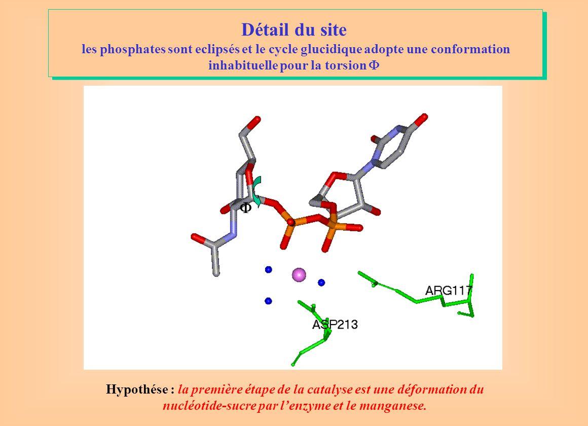 Détail du site les phosphates sont eclipsés et le cycle glucidique adopte une conformation inhabituelle pour la torsion F.