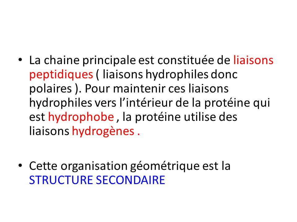 La chaine principale est constituée de liaisons peptidiques ( liaisons hydrophiles donc polaires ). Pour maintenir ces liaisons hydrophiles vers l'intérieur de la protéine qui est hydrophobe , la protéine utilise des liaisons hydrogènes .