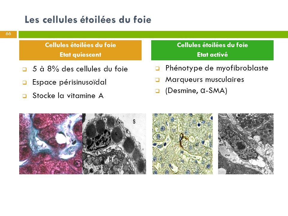 Cellules étoilées du foie Cellules étoilées du foie