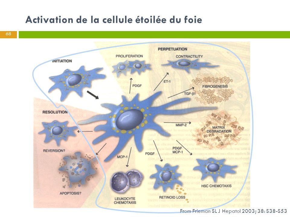 Activation de la cellule étoilée du foie