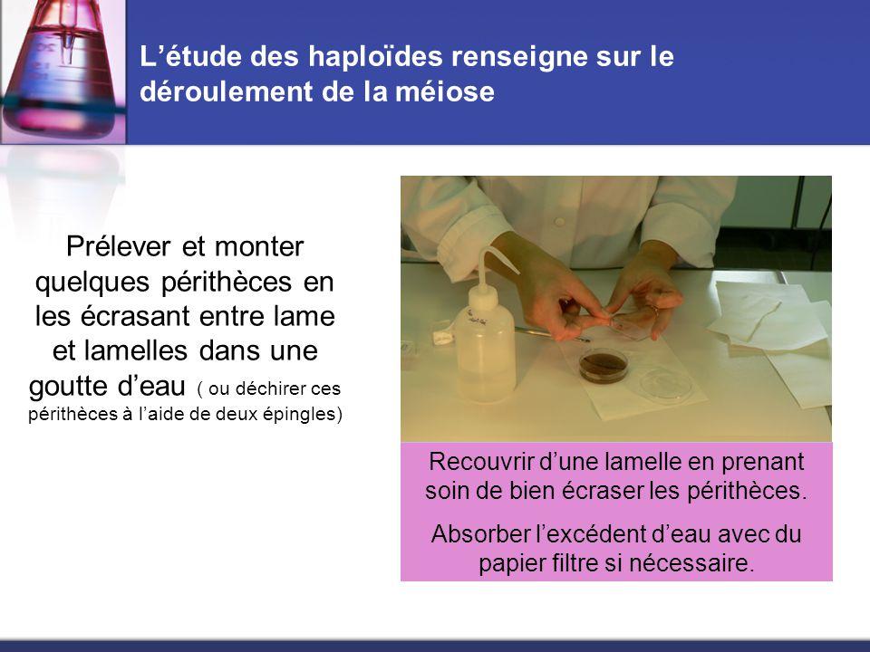 L'étude des haploïdes renseigne sur le déroulement de la méiose