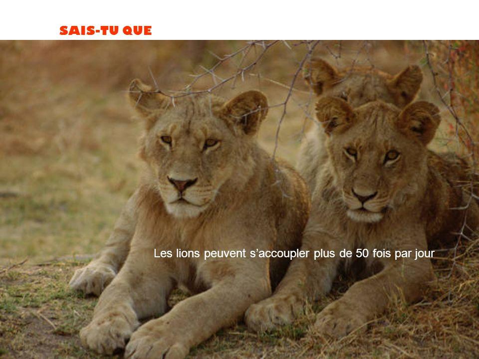 Les lions peuvent s'accoupler plus de 50 fois par jour