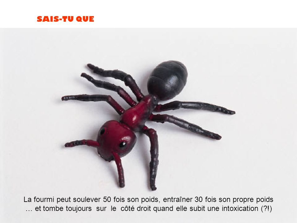 La fourmi peut soulever 50 fois son poids, entraîner 30 fois son propre poids
