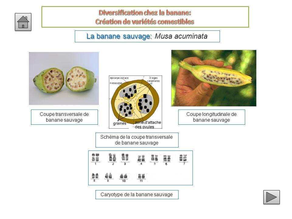 Diversification chez la banane: Création de variétés comestibles