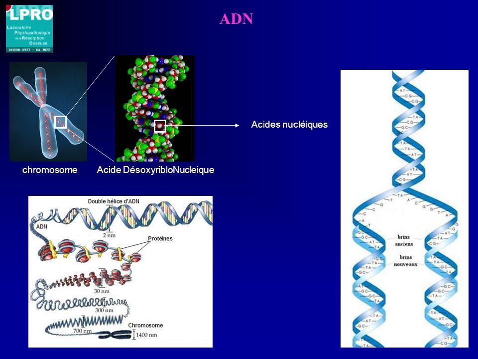 ADN Acides nucléiques chromosome Acide DésoxyribloNucleique