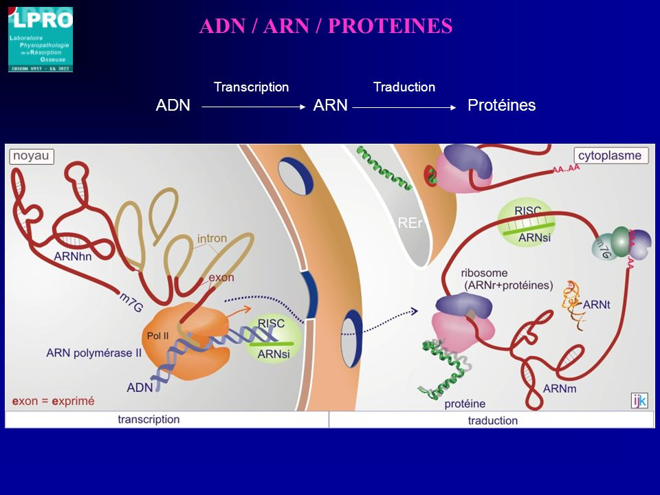 ADN / ARN / PROTEINES Transcription. Traduction.