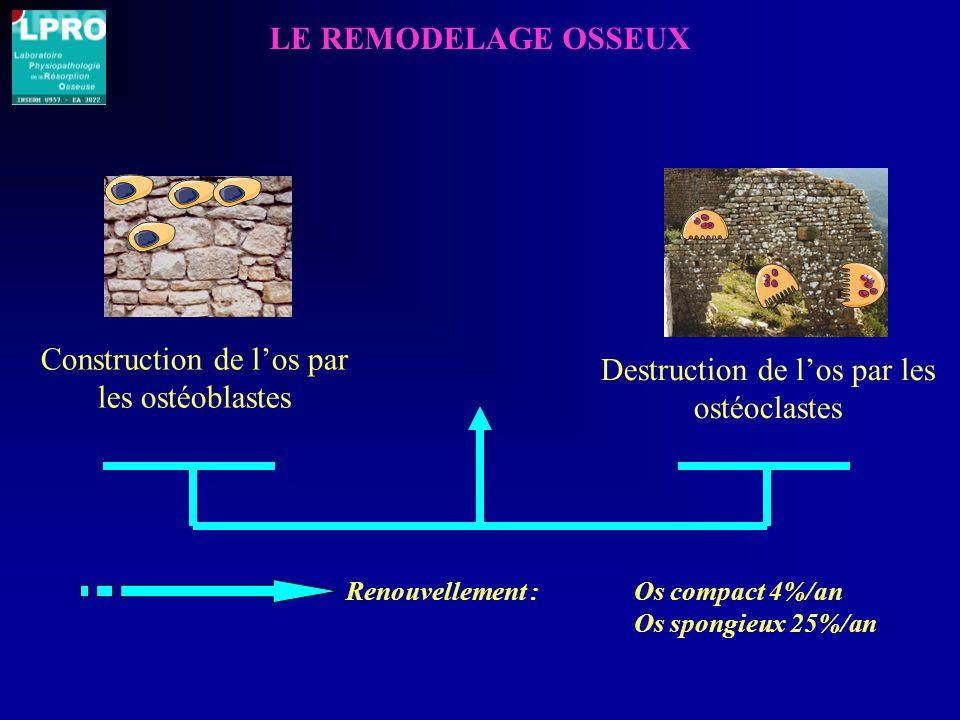 Construction de l'os par les ostéoblastes
