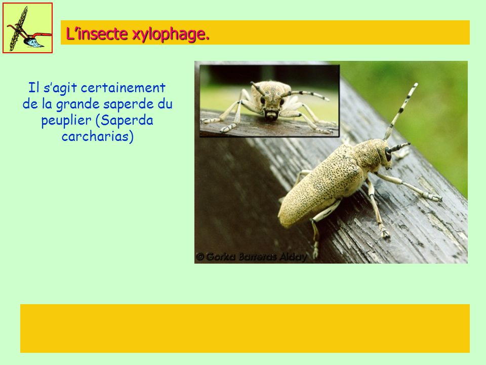 L'insecte xylophage. Il s'agit certainement de la grande saperde du peuplier (Saperda carcharias)