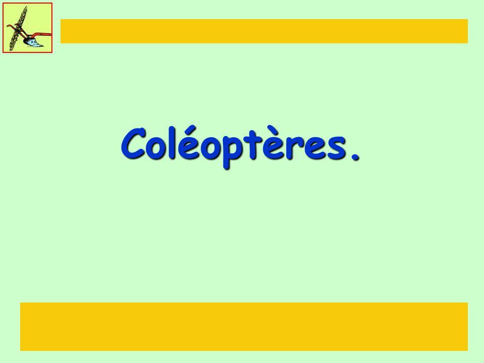 Coléoptères.