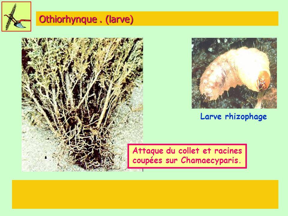 Attaque du collet et racines coupées sur Chamaecyparis.