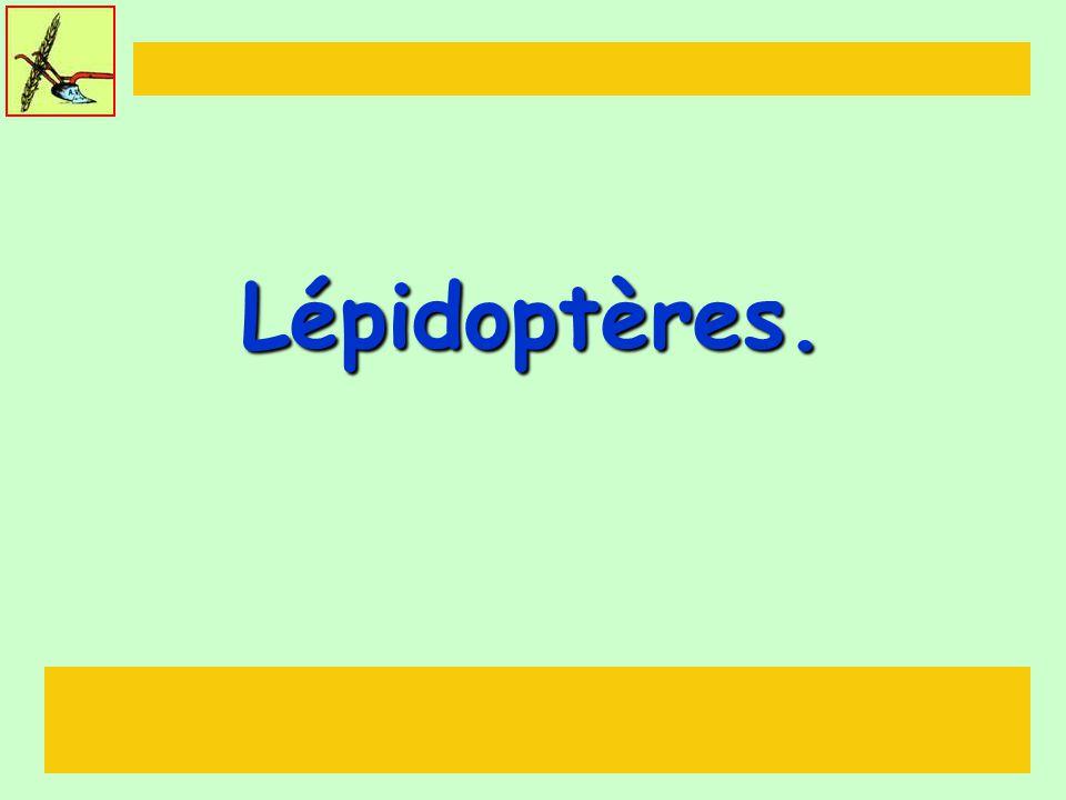 Lépidoptères.
