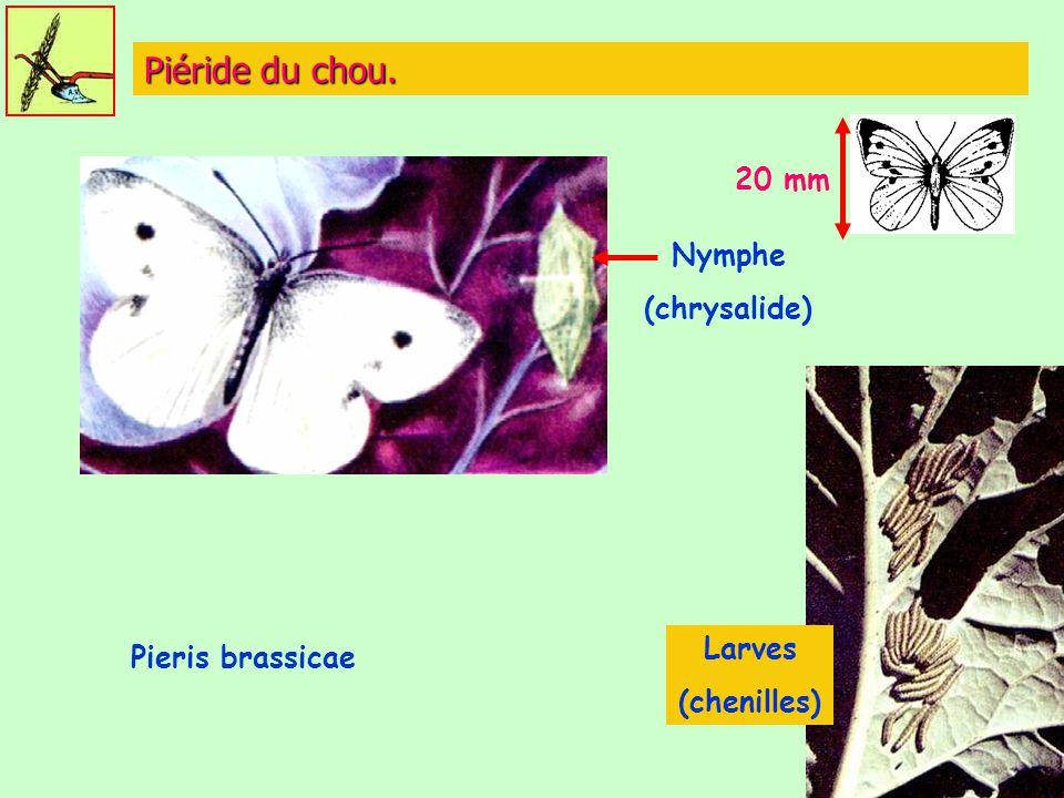Piéride du chou. 20 mm Nymphe (chrysalide) Larves Pieris brassicae