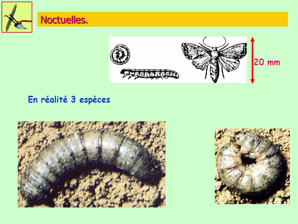 Noctuelles. 20 mm En réalité 3 espèces