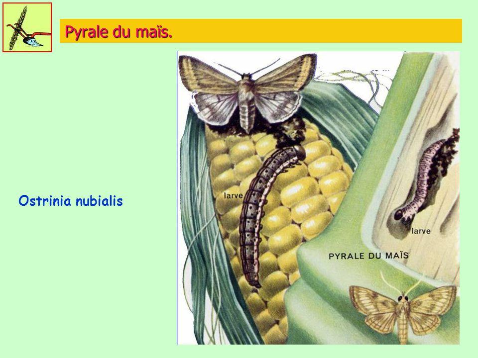 Pyrale du maïs. Ostrinia nubialis