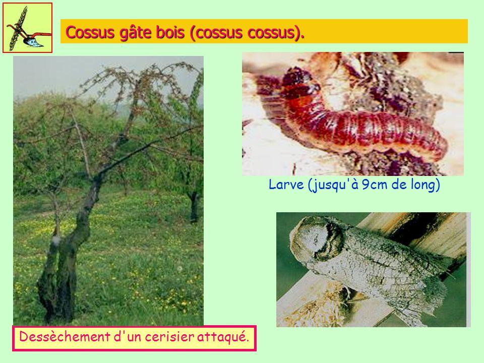 Cossus gâte bois (cossus cossus).