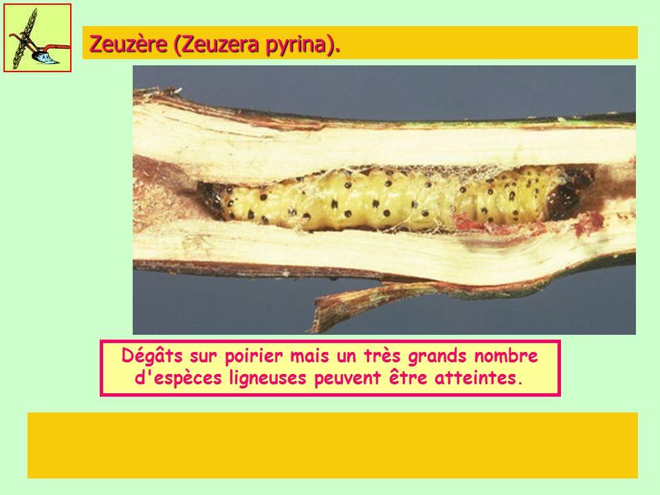 Zeuzère (Zeuzera pyrina).