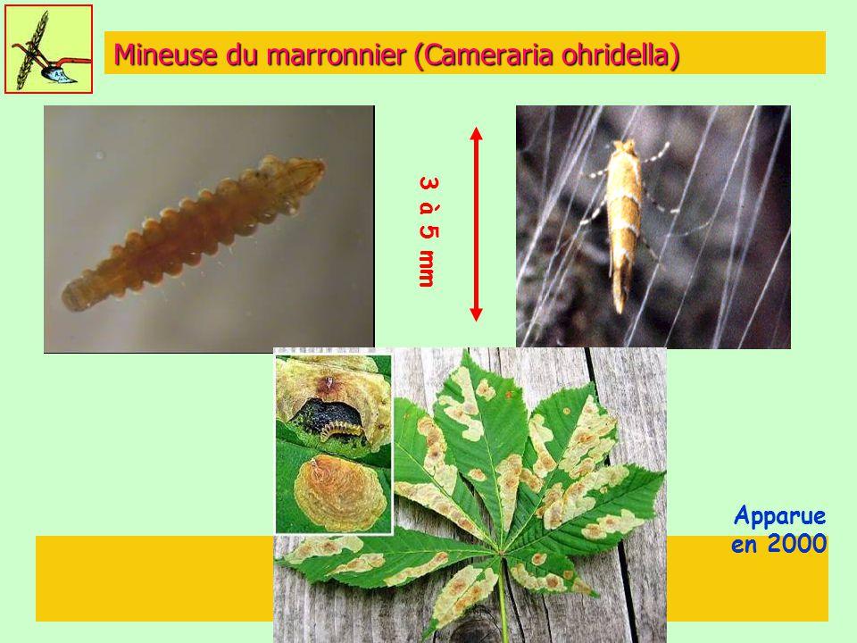 Mineuse du marronnier (Cameraria ohridella)