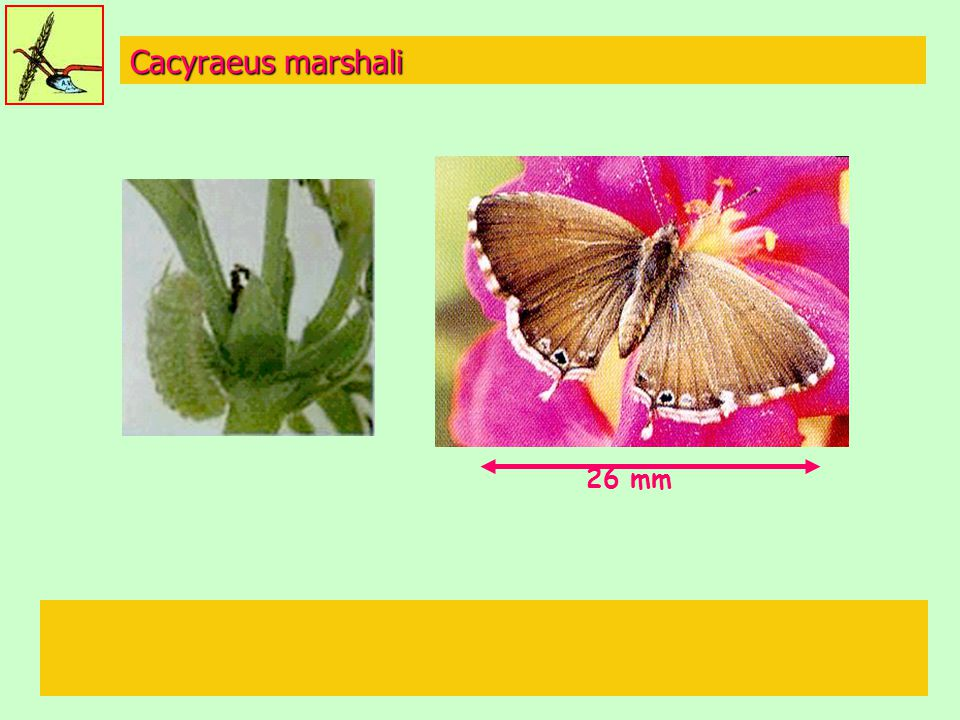 Cacyraeus marshali 26 mm