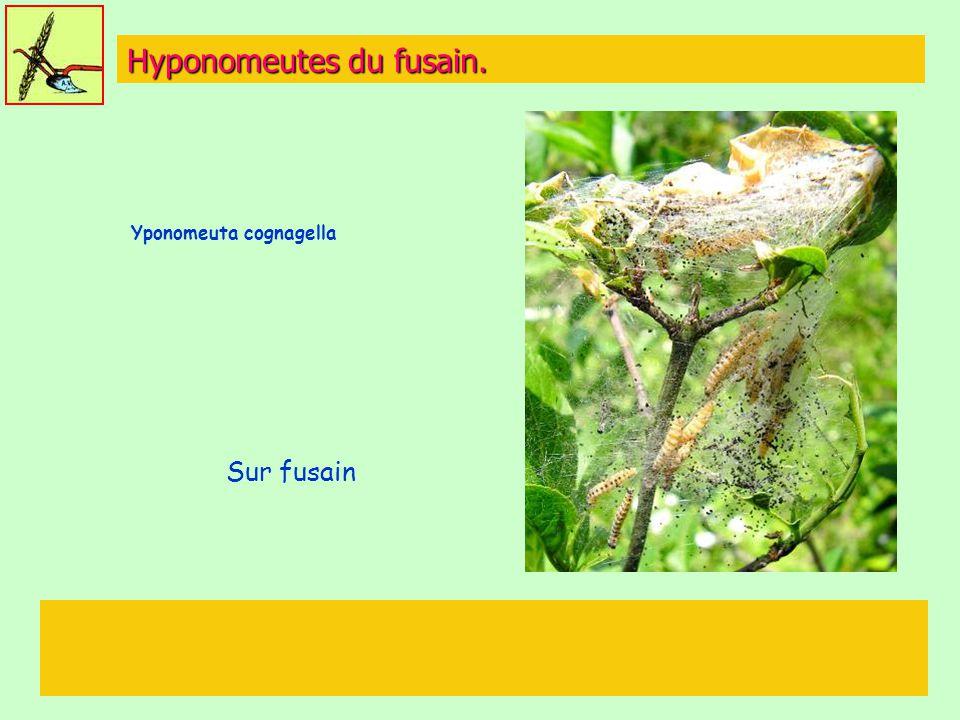 Hyponomeutes du fusain.