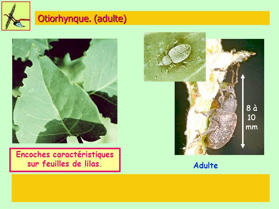 Encoches caractéristiques sur feuilles de lilas.