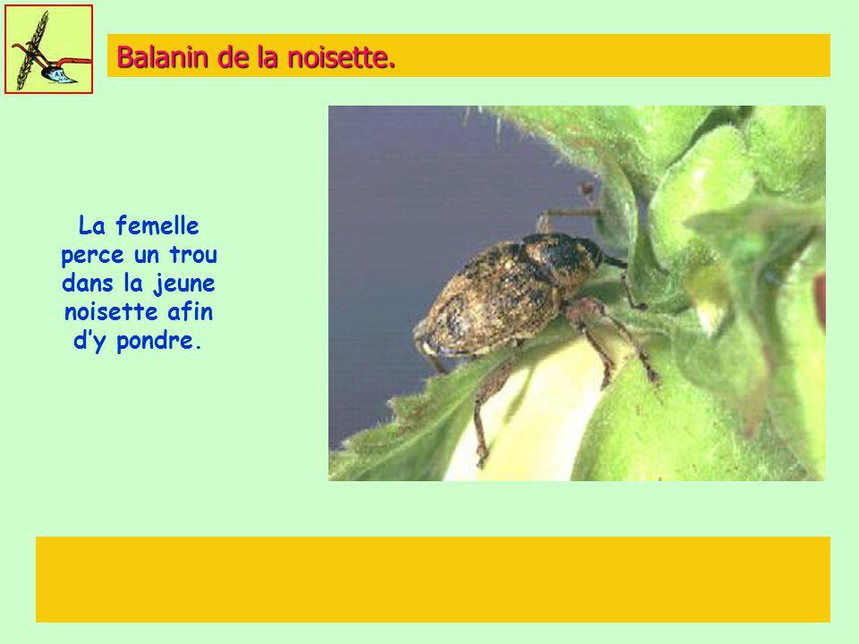 La femelle perce un trou dans la jeune noisette afin d'y pondre.