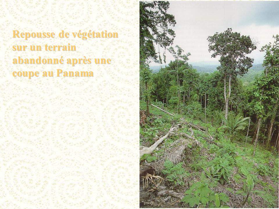 Repousse de végétation sur un terrain abandonné après une coupe au Panama