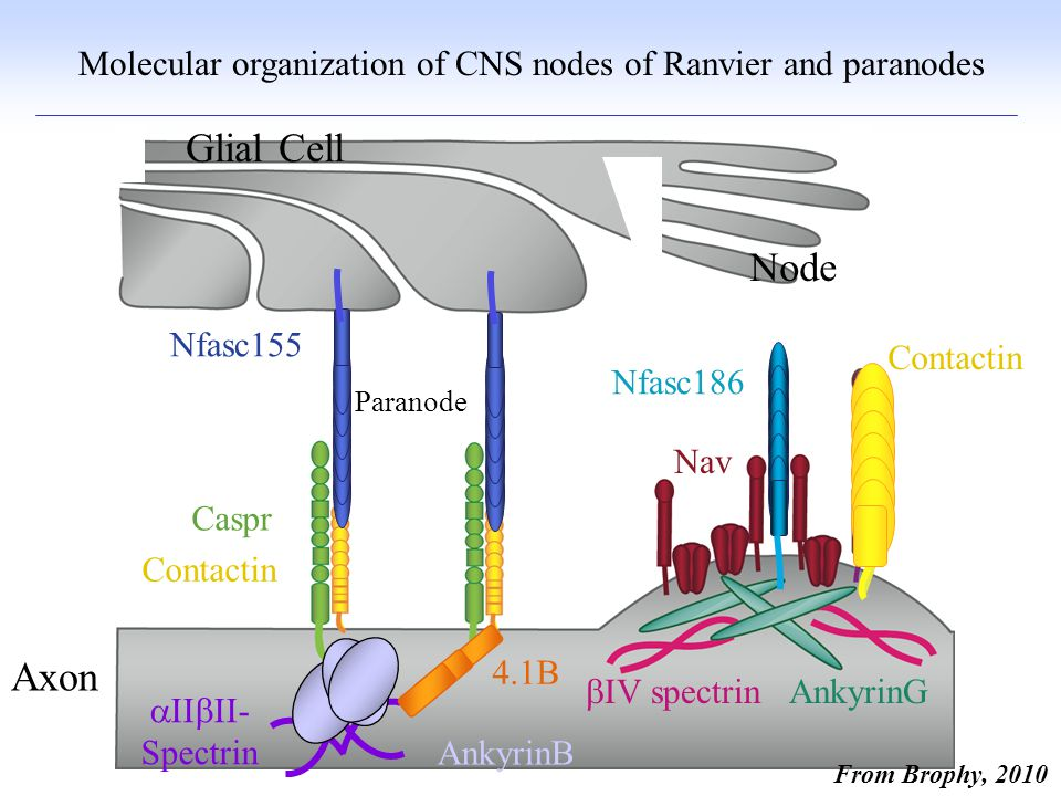 Molecular organization of CNS nodes of Ranvier and paranodes