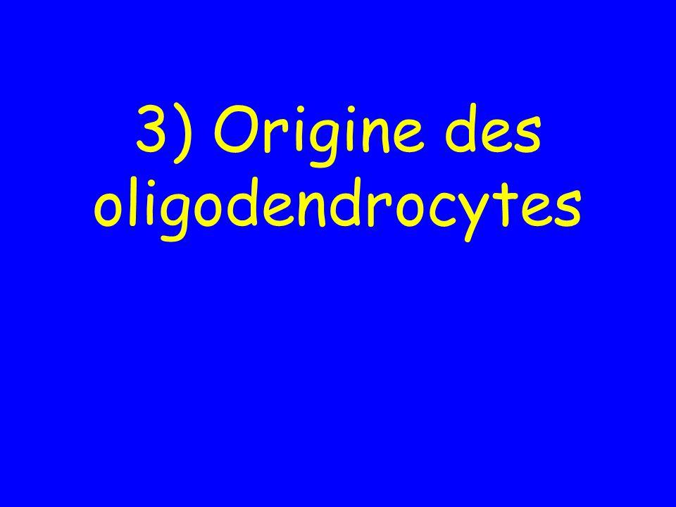 3) Origine des oligodendrocytes