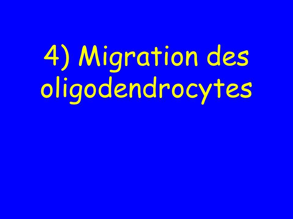 4) Migration des oligodendrocytes