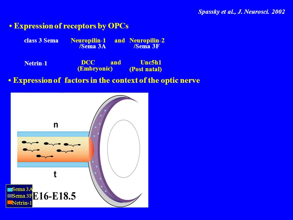 • Expression of receptors by OPCs