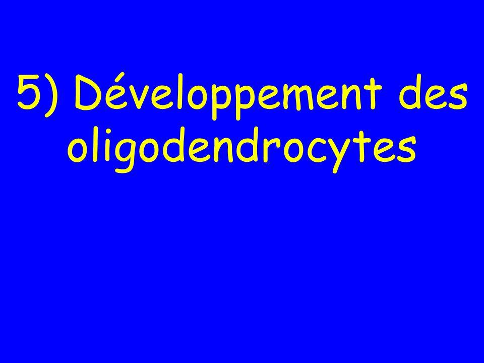 5) Développement des oligodendrocytes